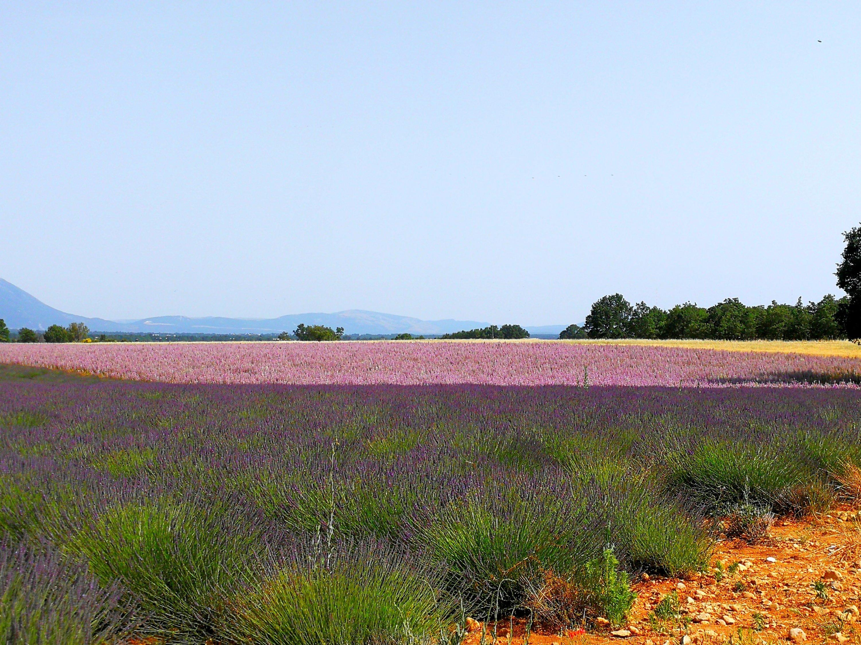 Provenza on the road da est a ovest attraverso il Verdon - i campi di lavandino nella zona di Valensole
